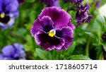Purple Pansy Flower In The...