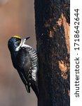 A Male Black Baked Woodpecker...