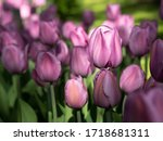 Blooming Lilac Tulips In The...