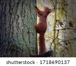 Red Squirrel Climbing In A Tree