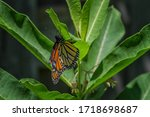Monarch Butterfly Laying An Eg...