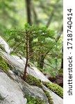 Norway Spruce Bonsai Grown On...
