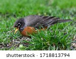 A Well Fed Robin Eating A Worm...