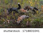 Small photo of Skulk of Red Fox (Vulpes vulpes) Run Around Together at Waters Edge Autumn - captive animals