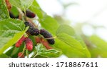 Organic Mulberry Fruit Tree And ...