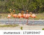 Bonaire  Flamingo Doing A Smal...