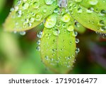 Water Drops On A Green Leaf...