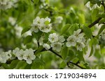 passion blossoms. apple tree... | Shutterstock . vector #1719034894