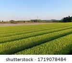 Small photo of Plantacao de cha verde com poda, em desenvolvimento para colheita. O cha verde e uma bebida tipica japonesa, consumida diariamente. Esta imagens foram produzidas na Cidade de Kameyama, Mie, Primavera.