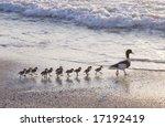 Family Of Ducks Walking A...