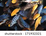 African Cichlids  Blue And...