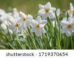 Daffodil Flower Pheasant's Eye  ...