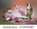 Goldfinch  Carduelis Carduelis  ...
