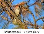 little friarbird  philemon... | Shutterstock . vector #171961379