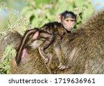 Baby Olive Baboon  Papio Anubis ...