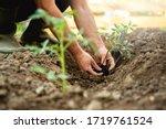 Farmer Planting Tomatoes...