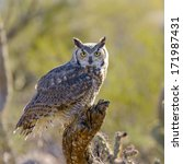 Great Horned Owl Perching On A...