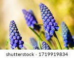 Blue Buds Flowers Muscari...