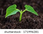 The Soil With A Small Bean...