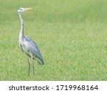 Majestic Grey Heron Looks Over...