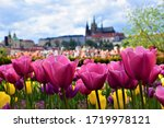 Colorful Tulips In The City Of...