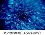Chrysanthemum In A Blue Color ...