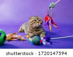 The Striped  Fold Cat Sits On A ...