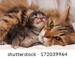 Stock photo lovely siberian cat with newborn kitten close up 172039964