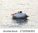 Pelican Marine Bird With Long...