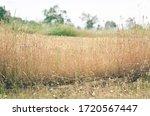 A Sunny Field Of Tall Grass