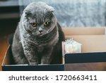 Scottish Fold Gray Cat With...