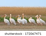 white pelicans in the danube... | Shutterstock . vector #172067471
