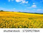 Yellow Blooming Fields In Eifel ...