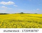 Yellow Blooming Fields In Eife...