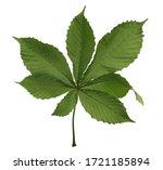 Horse Chestnut  Conker Tree ...