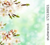Beautiful spring blossoming apricot tree. Easter background. - stock photo