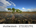 Red Mangroves  Reeds And...