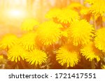Spring Dandelion Flowers As A...