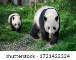 Mother Panda Walking With Panda ...