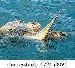 Turtles Mating In The Ocean  ...