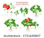 Strawberry Plant Growing Stages ...