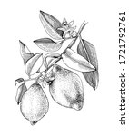 hand drawn blooming lemon...   Shutterstock .eps vector #1721792761