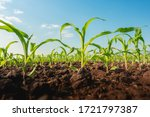 Maize Seedling In The...