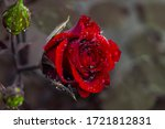 Red Rose With Drops. Drops On...