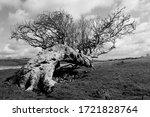 Old Fallen Rowan Tree In Black...