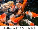 A Lot Of  Koi In The Pond