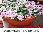 Pink Impatiens In Potted ...