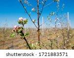 Apple Orchard Garden In...