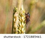 New Forest Cicada Female  ...