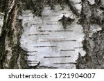 Pattern Of Birch Bark With...
